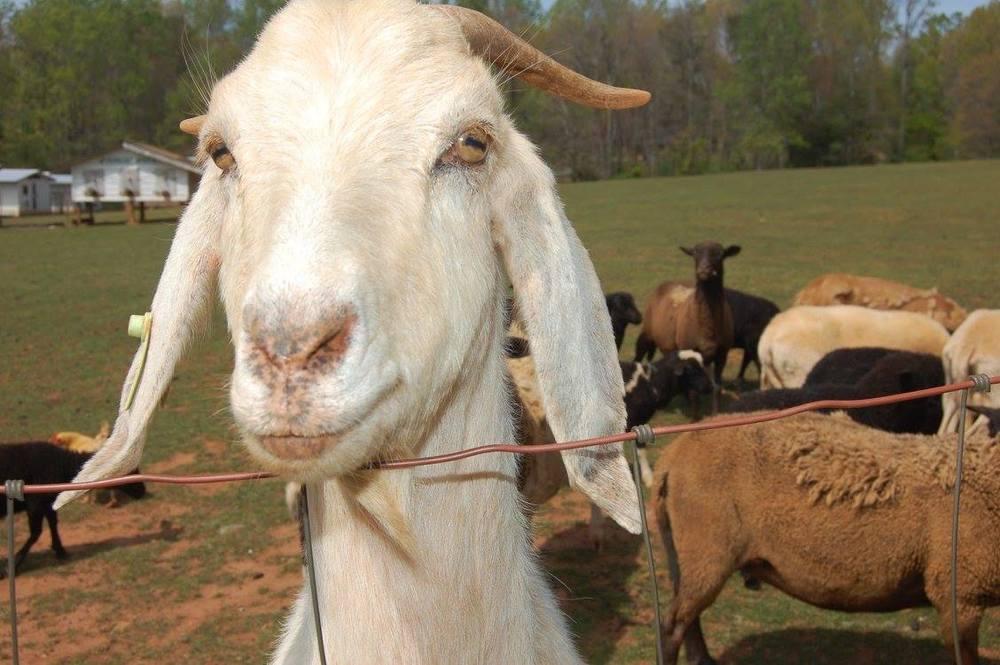A+goat.jpg