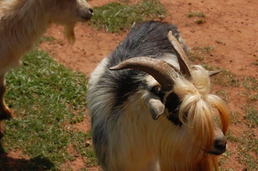 Midget+goat.jpg