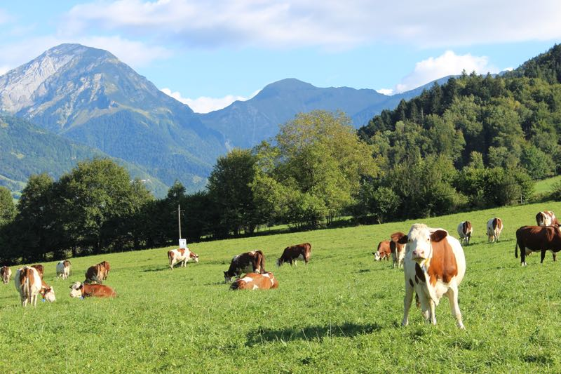 Cows&mountains.jpg