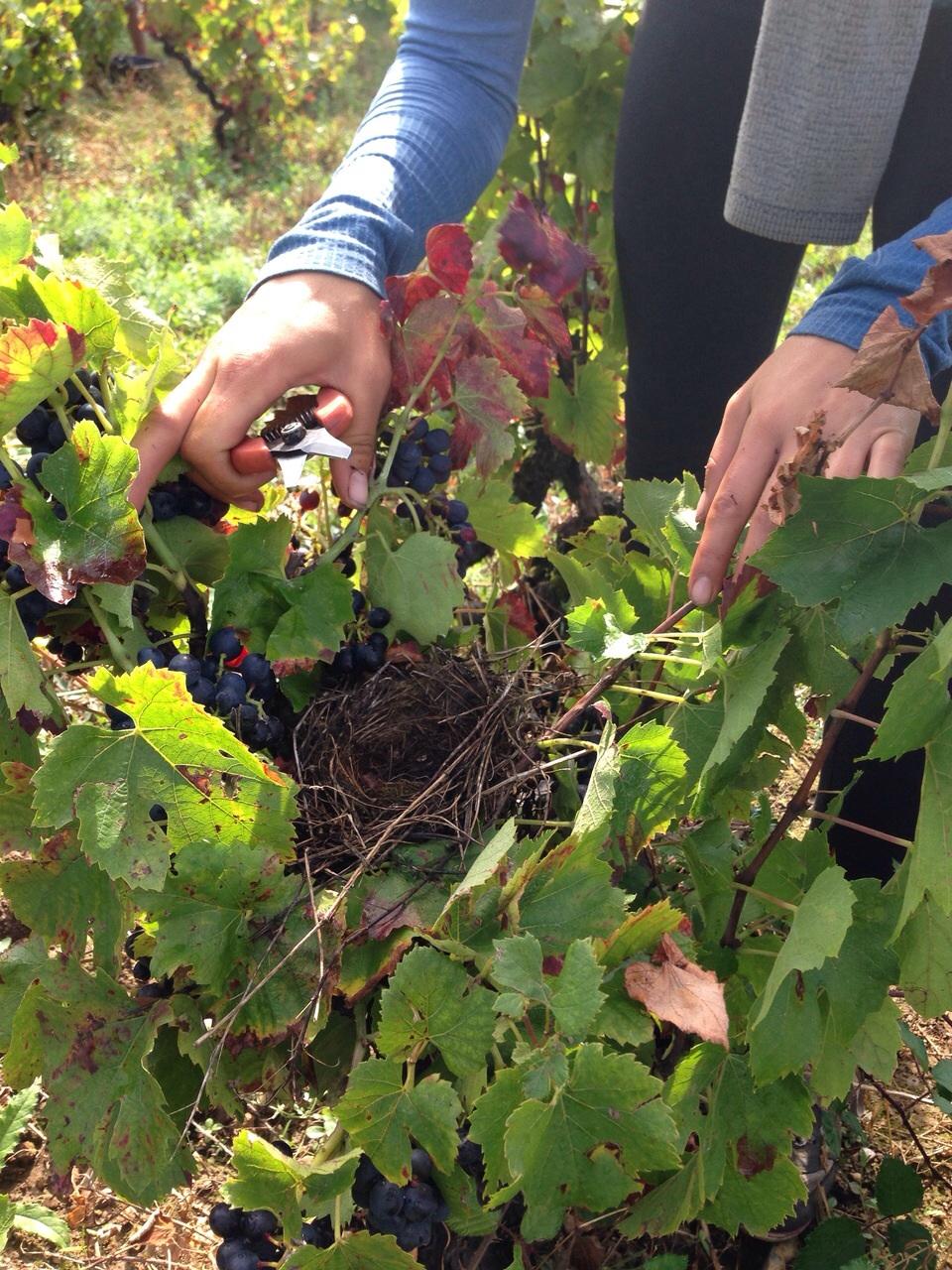 Nest-vine.jpg