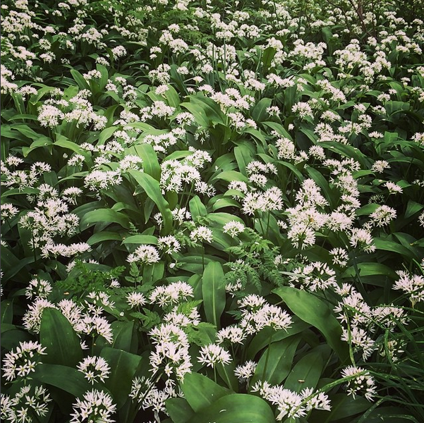 wildgarlic.PNG