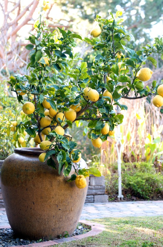 lemon-tree-container-11-550x830.jpg