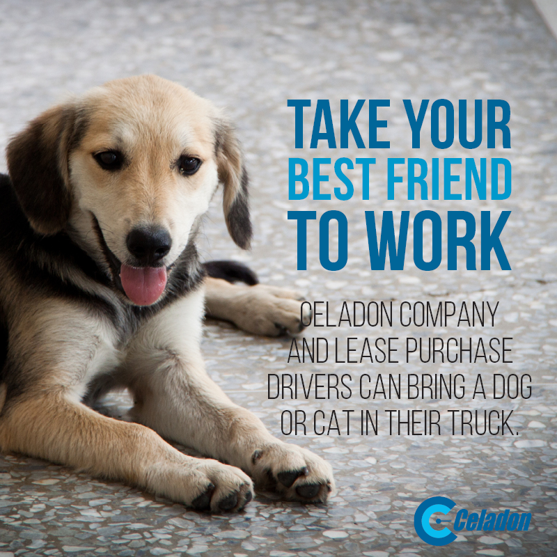 Company and Lease Purchase Drivers with Celadon can drive with a dog or cat