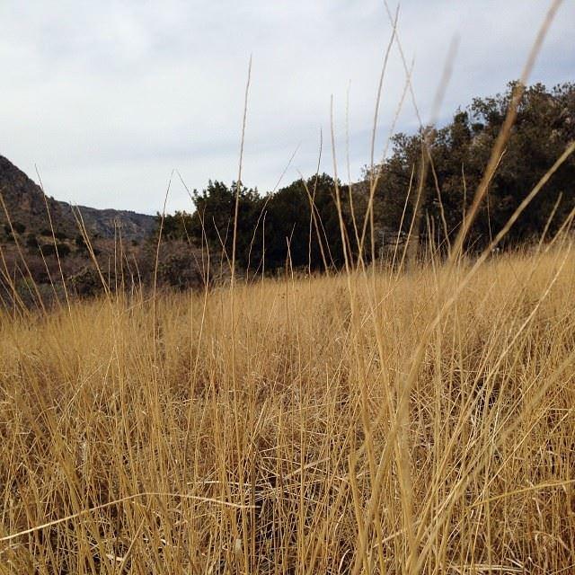Tall desert grass
