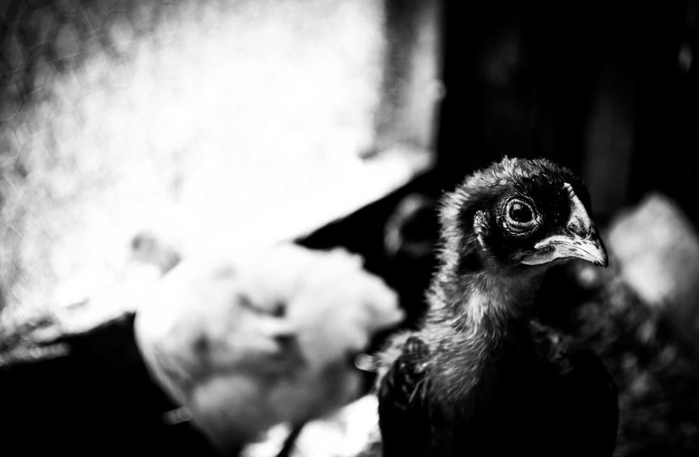 Legget Organics Chicks