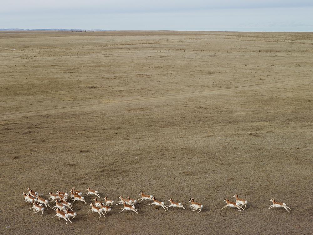 Pronghorn Antelope, Niobara County, Wyoming, 2013, Andrew Moore