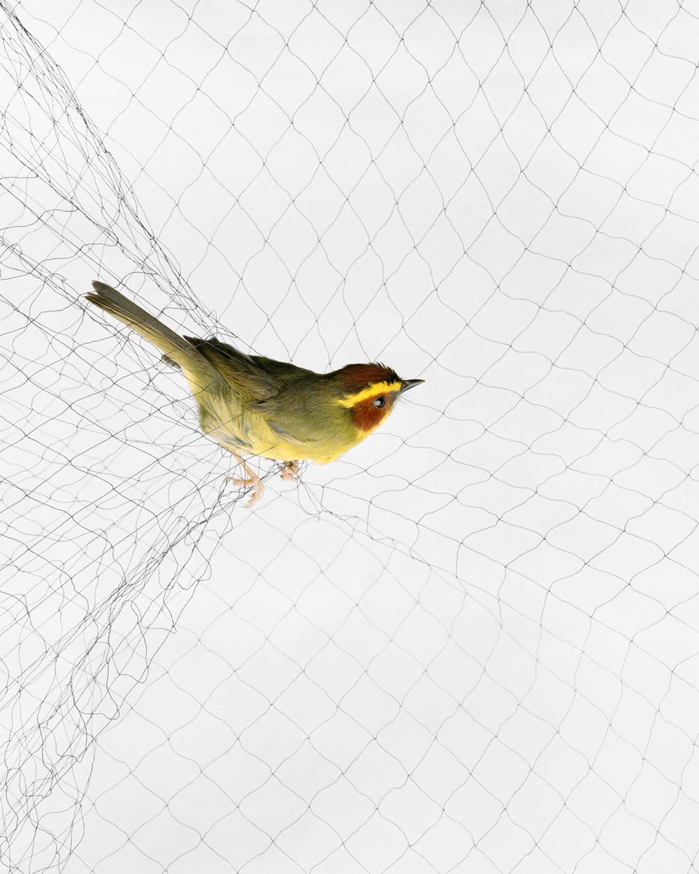 Golden-browed Warbler (Basileuterus belli), 2014 ,  Todd R. Forsgren