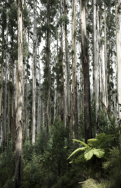Victoria's Eucalyptus Paradise