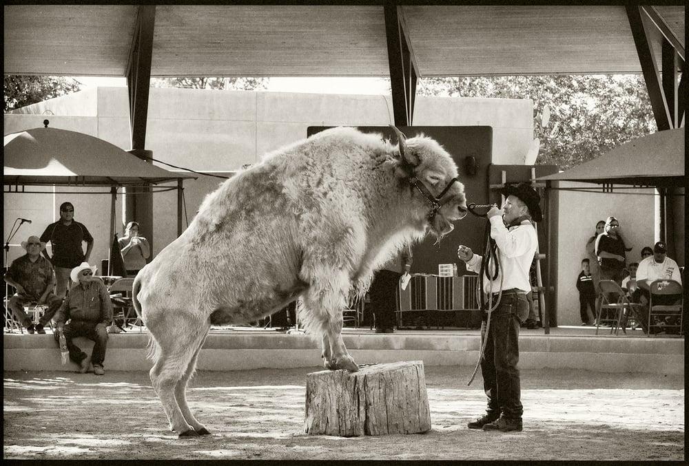White Buffalo, New Mexico Expo (State Fair), Albuquerque, New Mexico, 2012, Brian K. Edwards