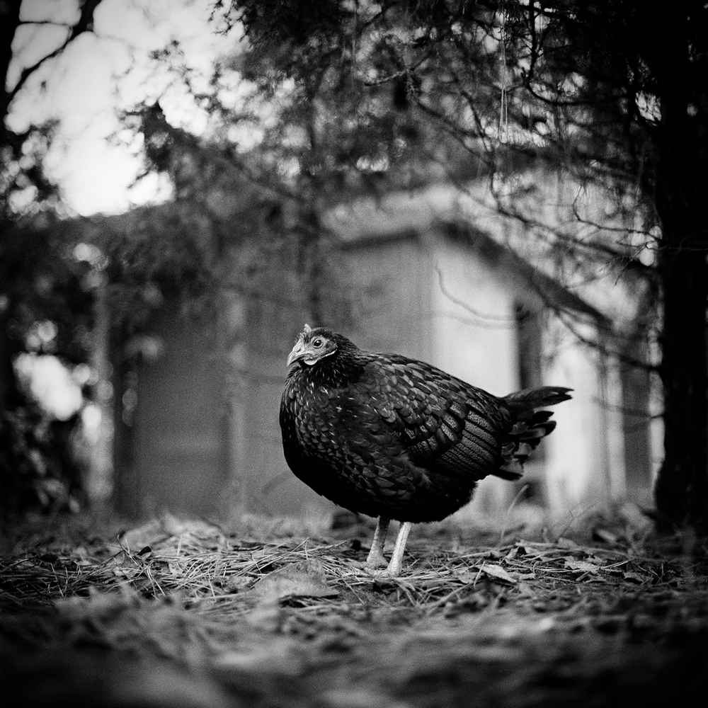 Kaola, Resident of United Poultry Concerns ,  Sharon Lee Hart