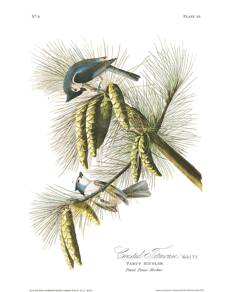 Plate 39, Crested Titmouse