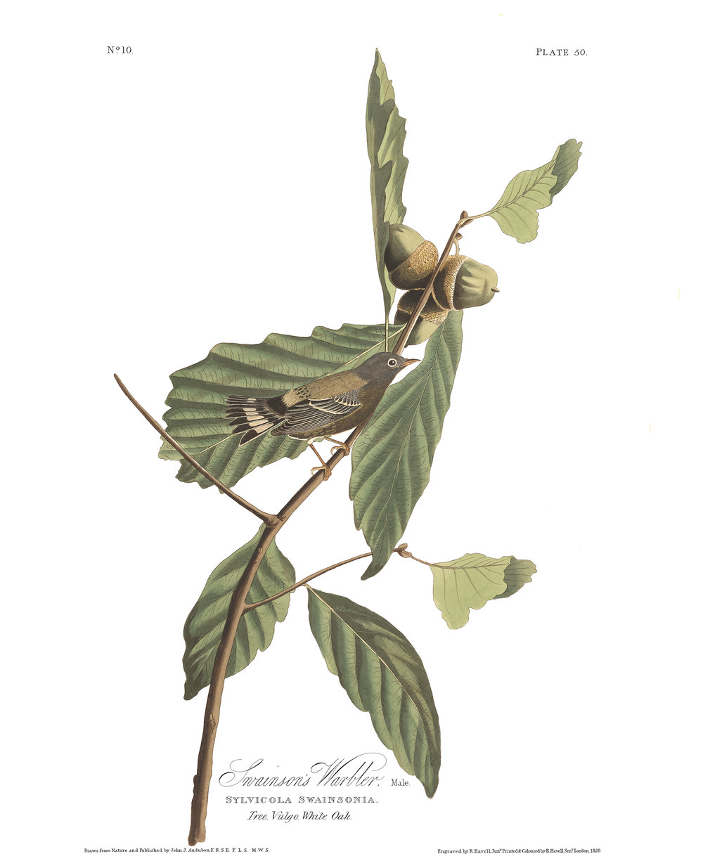 plate 50, Swainson's Warbler