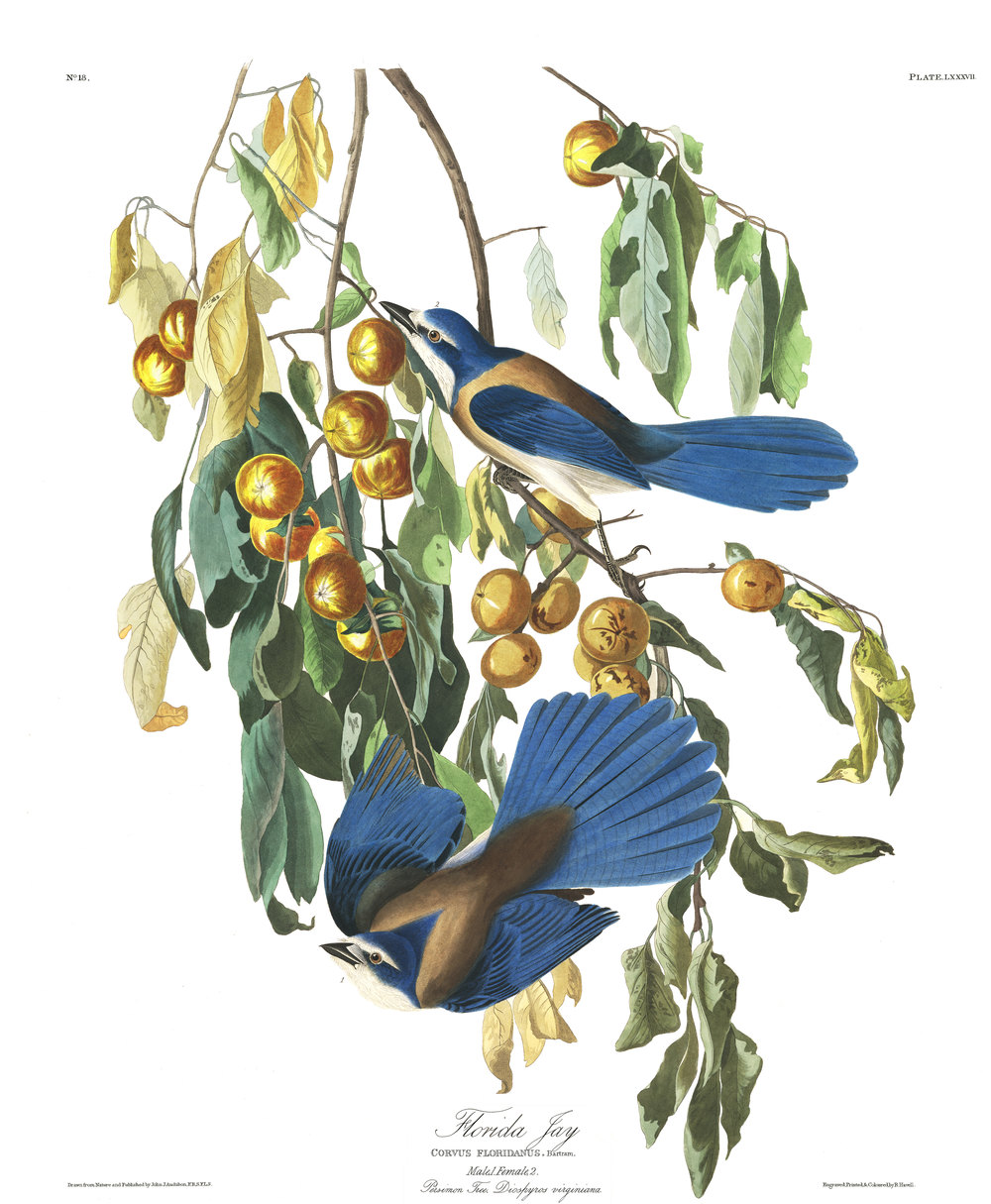 plate 87, Flordia Jay