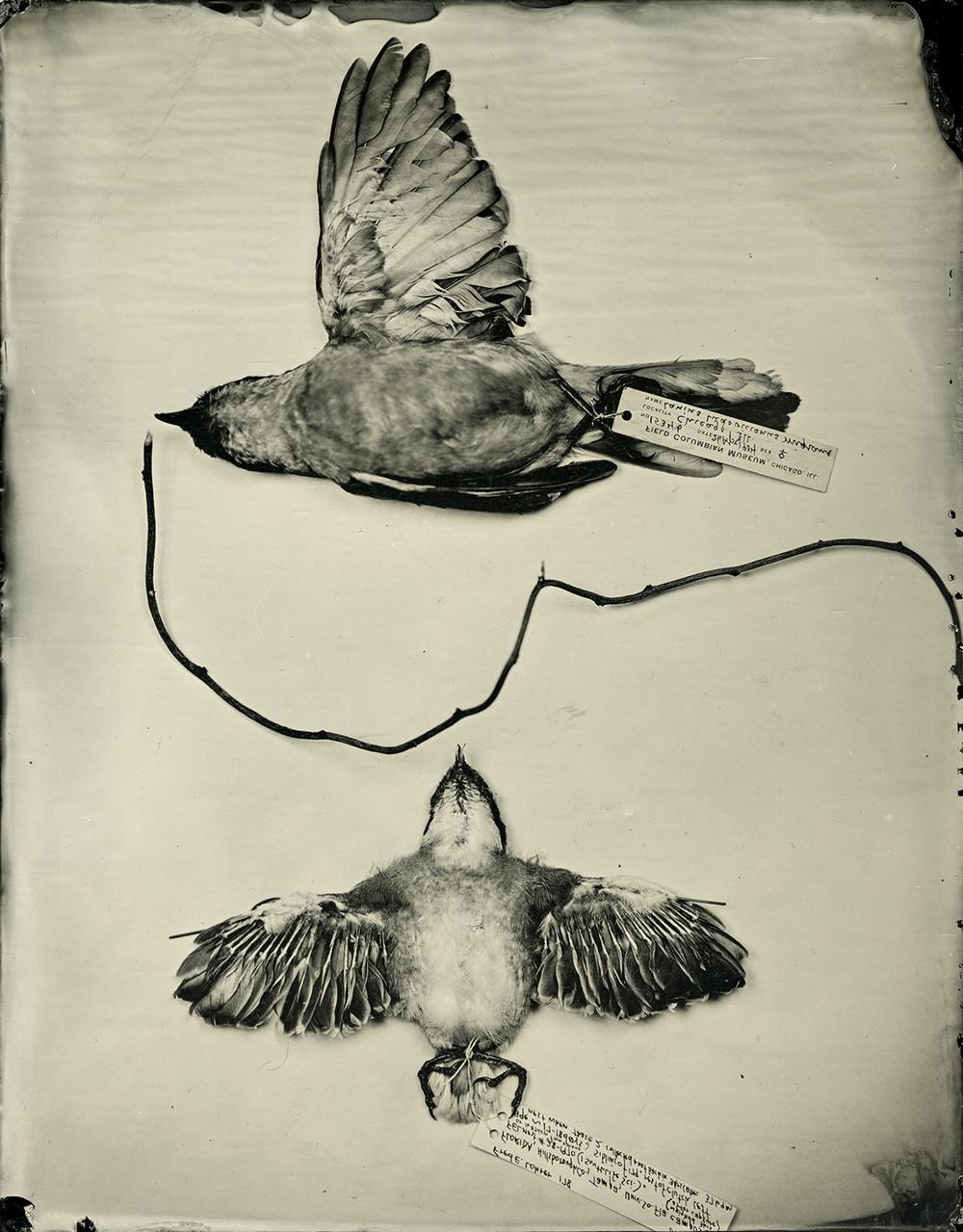 Shrikes , Mary Whalen