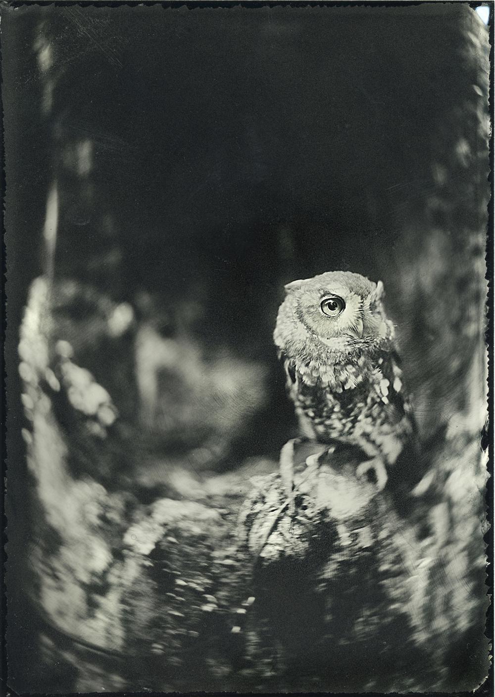 Portrait of Eastern Screech Owl ,  John Huneycutt