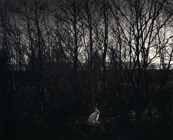 Pentti Sammallahti, Signilskar, Finland (white rabbit in forest), 1974, Gelatin silver print, © Pentti Sammallahti, Courtesy of Nailya Alexander Gallery, New York