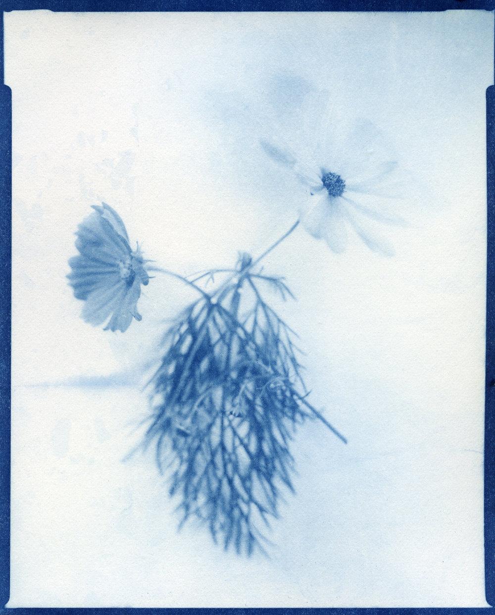 Cosmos (cyanotype), Richella Simard
