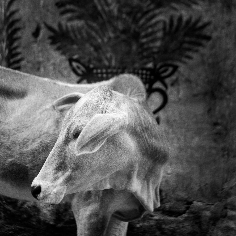Untitled (white cow) from the series Benares, Betina Vang