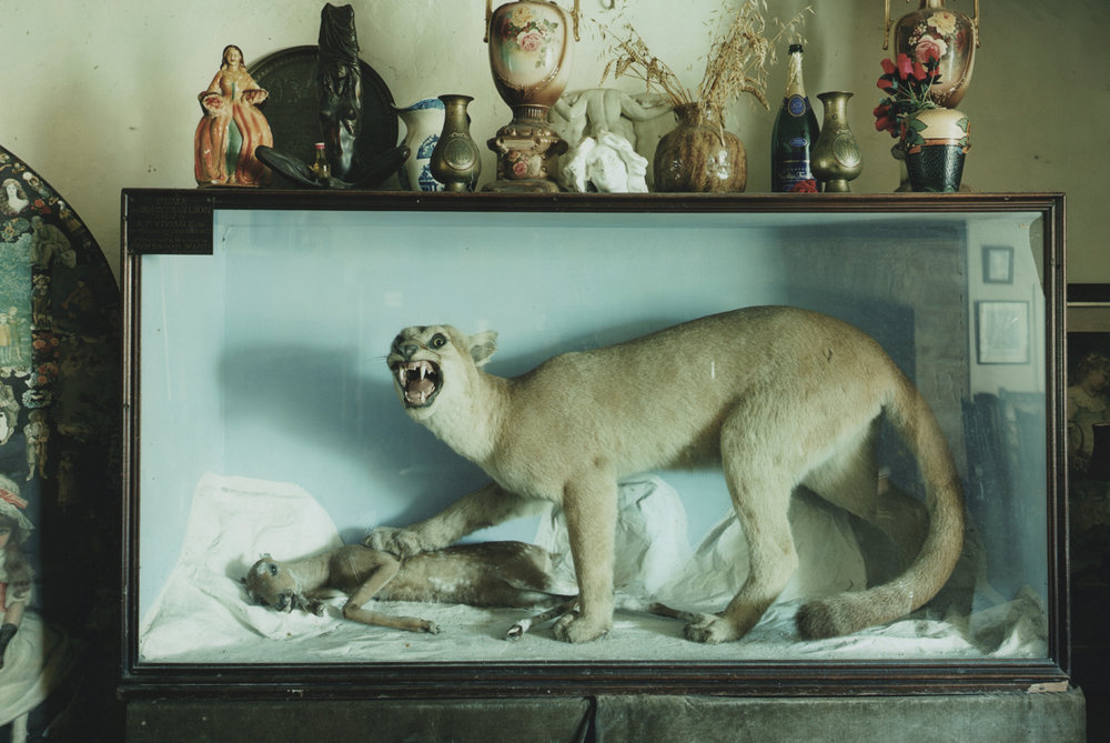 Mountain Lion, Wounded Deer, Tim Richmond