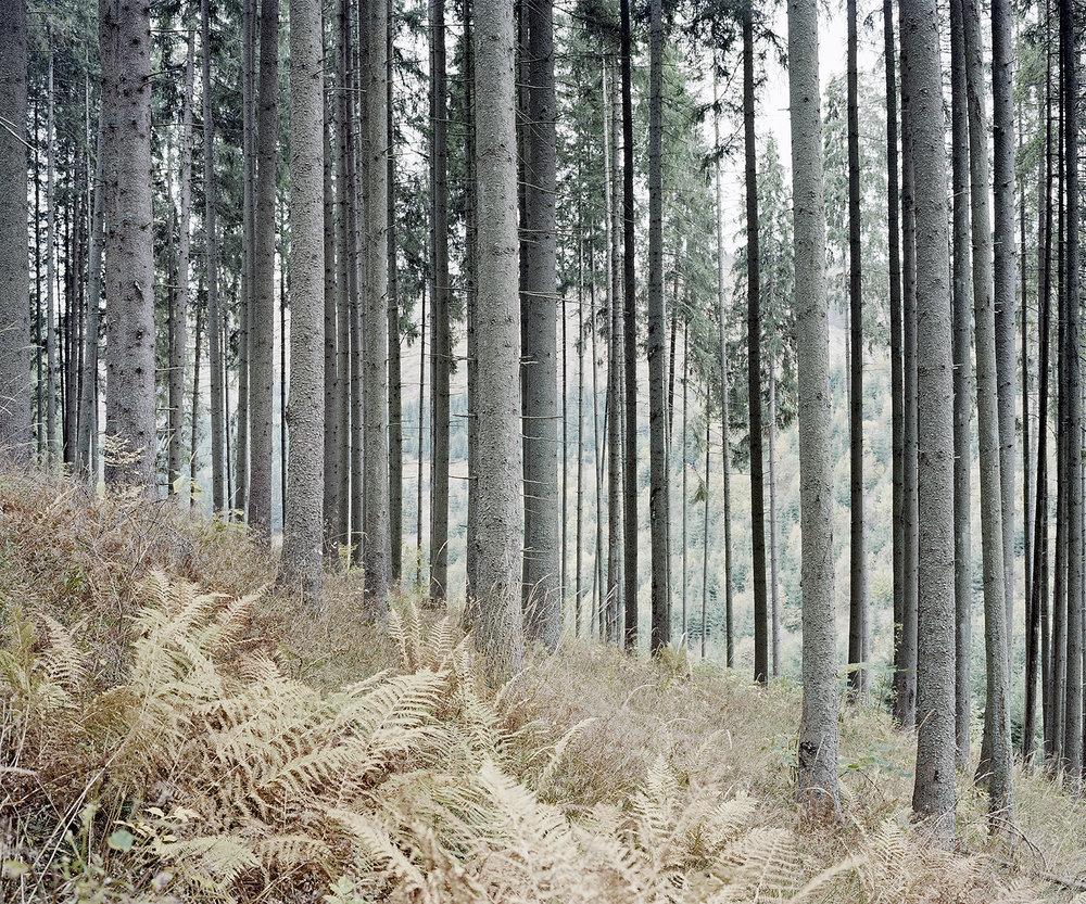 Pines, Romania