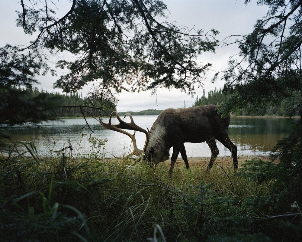 Woodland Caribou 2011 ,  Eamon Mac Mahon