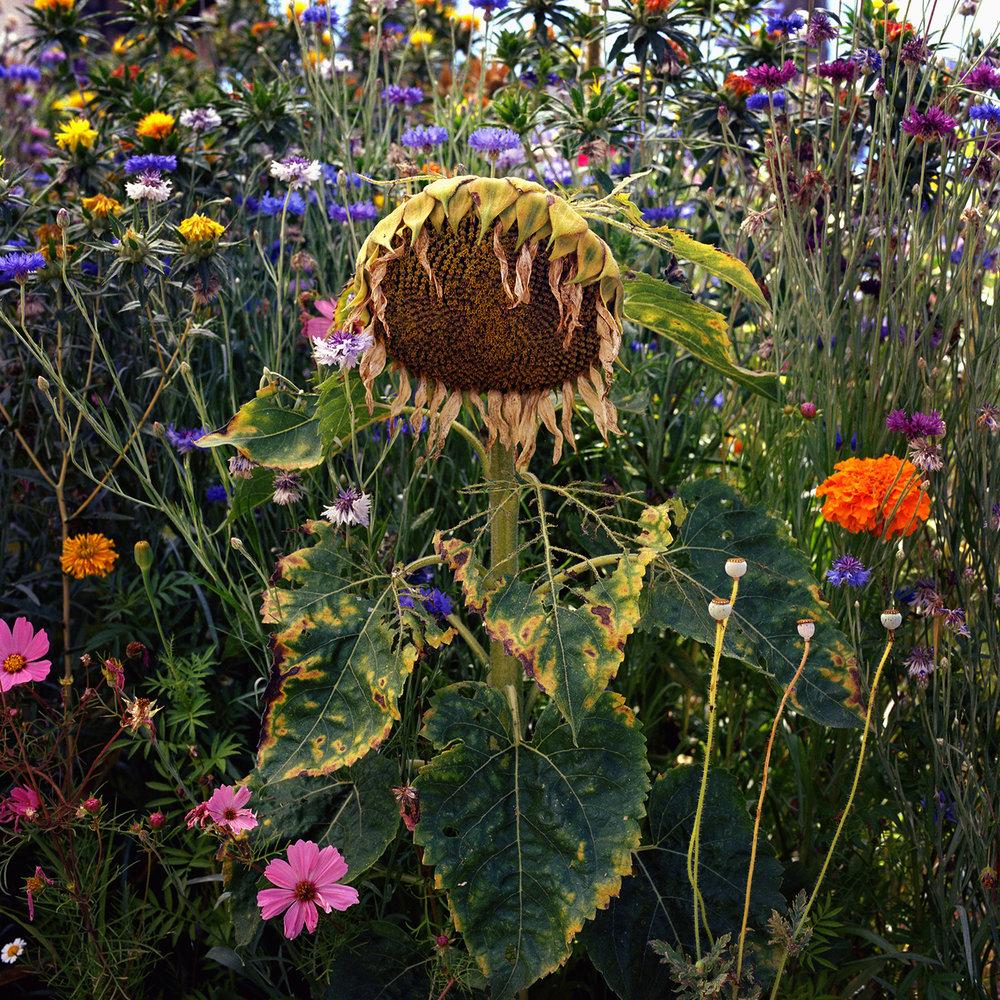 Sunflower, Siri Kaur