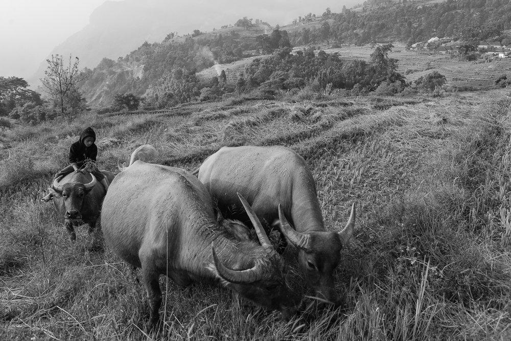 Boy and Water Buffaloes ,  Sascha Richter