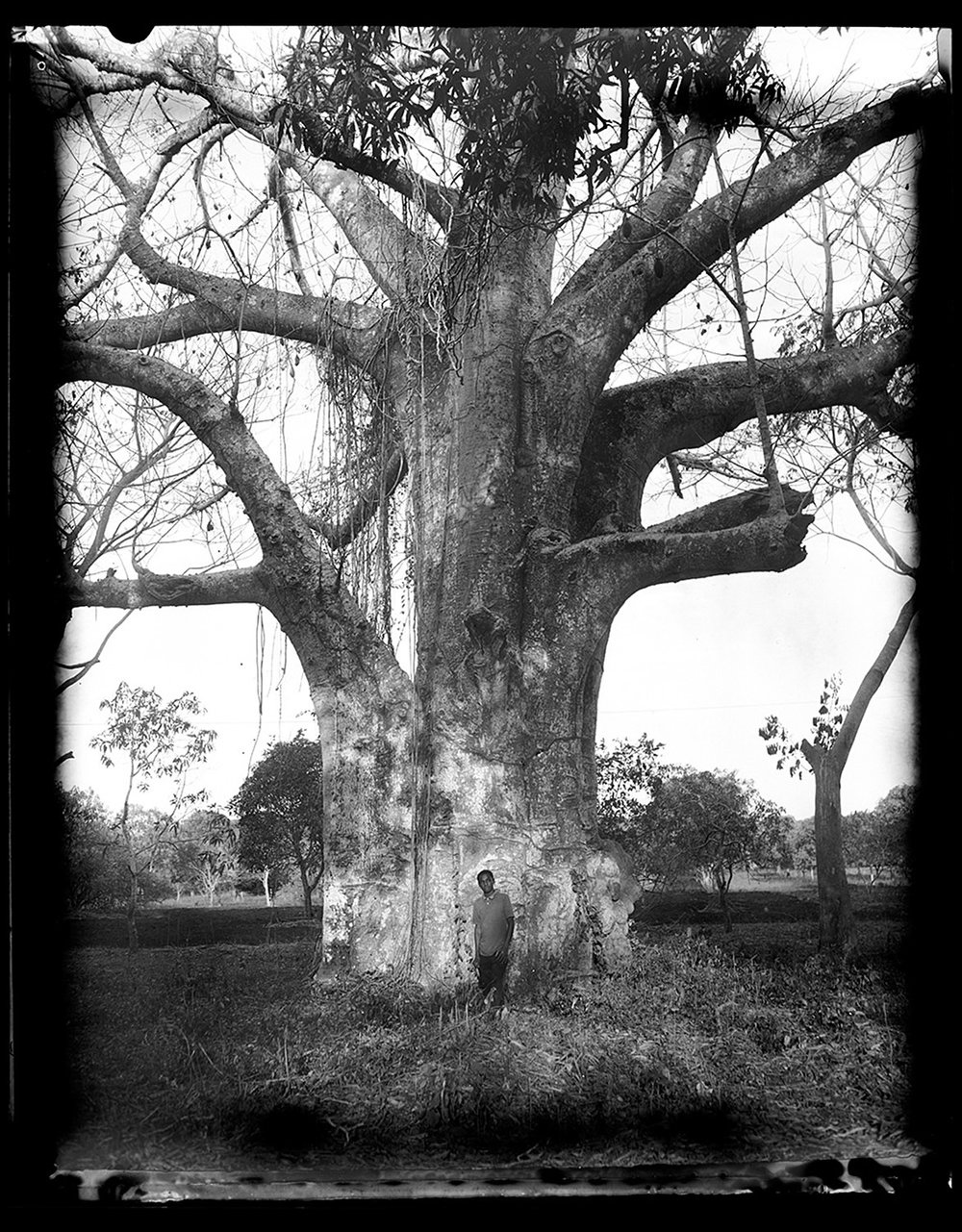 Baobab Tree Near Bungi Village, Zanzibar ,  Laena Wilder