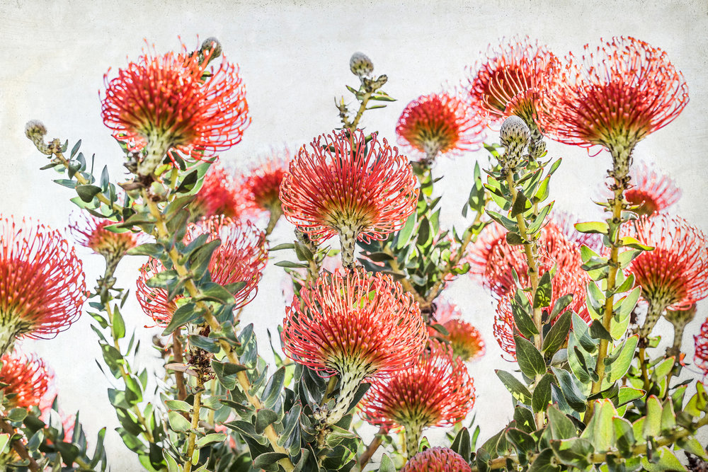 Pincushion Protea ,  Debbie O'Donnell