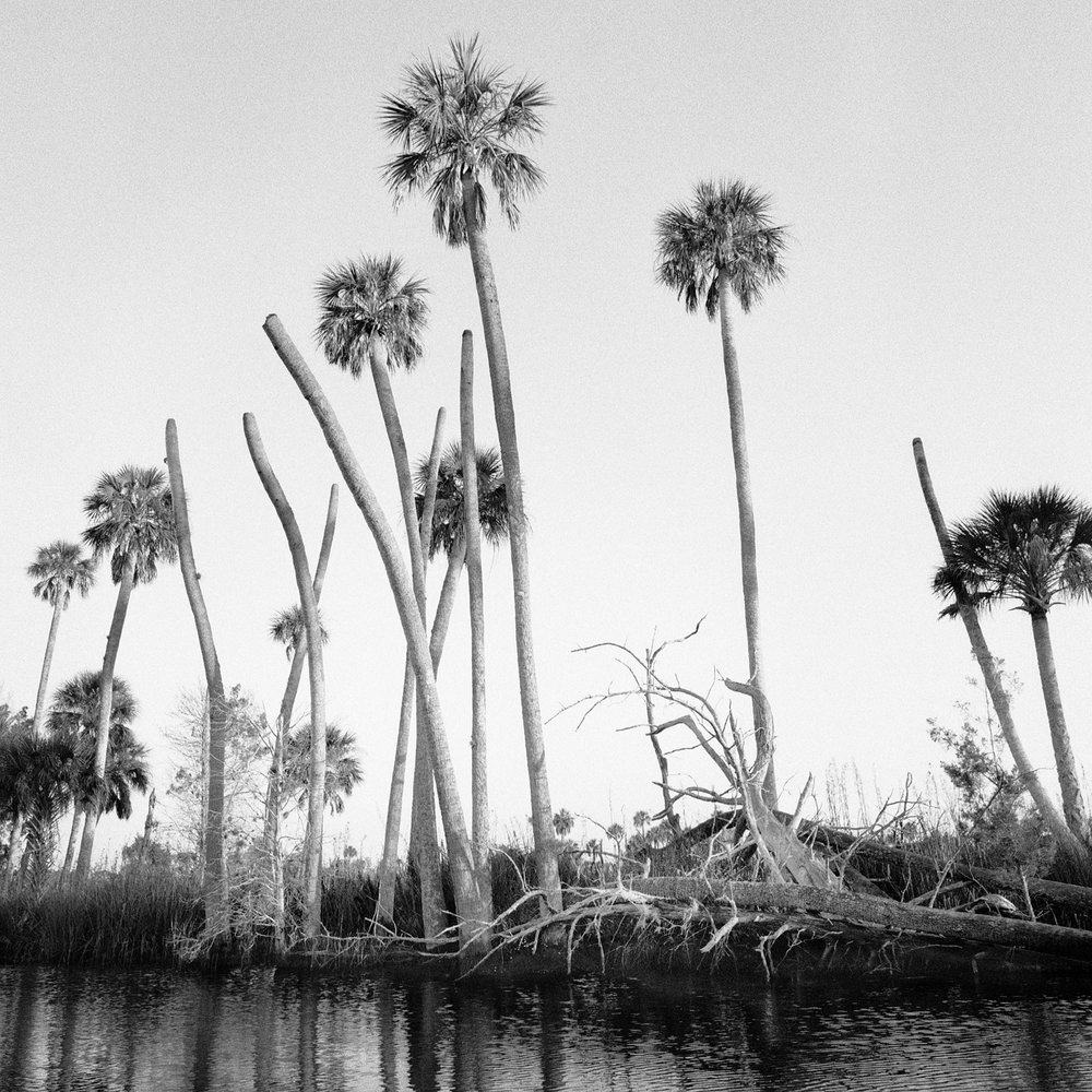 Dead Palms, Lower Crawford Creek