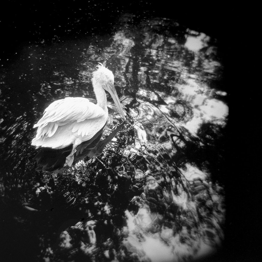Untitled 1  from the series  The Legend of the Pelican ,  Danica O. Kus