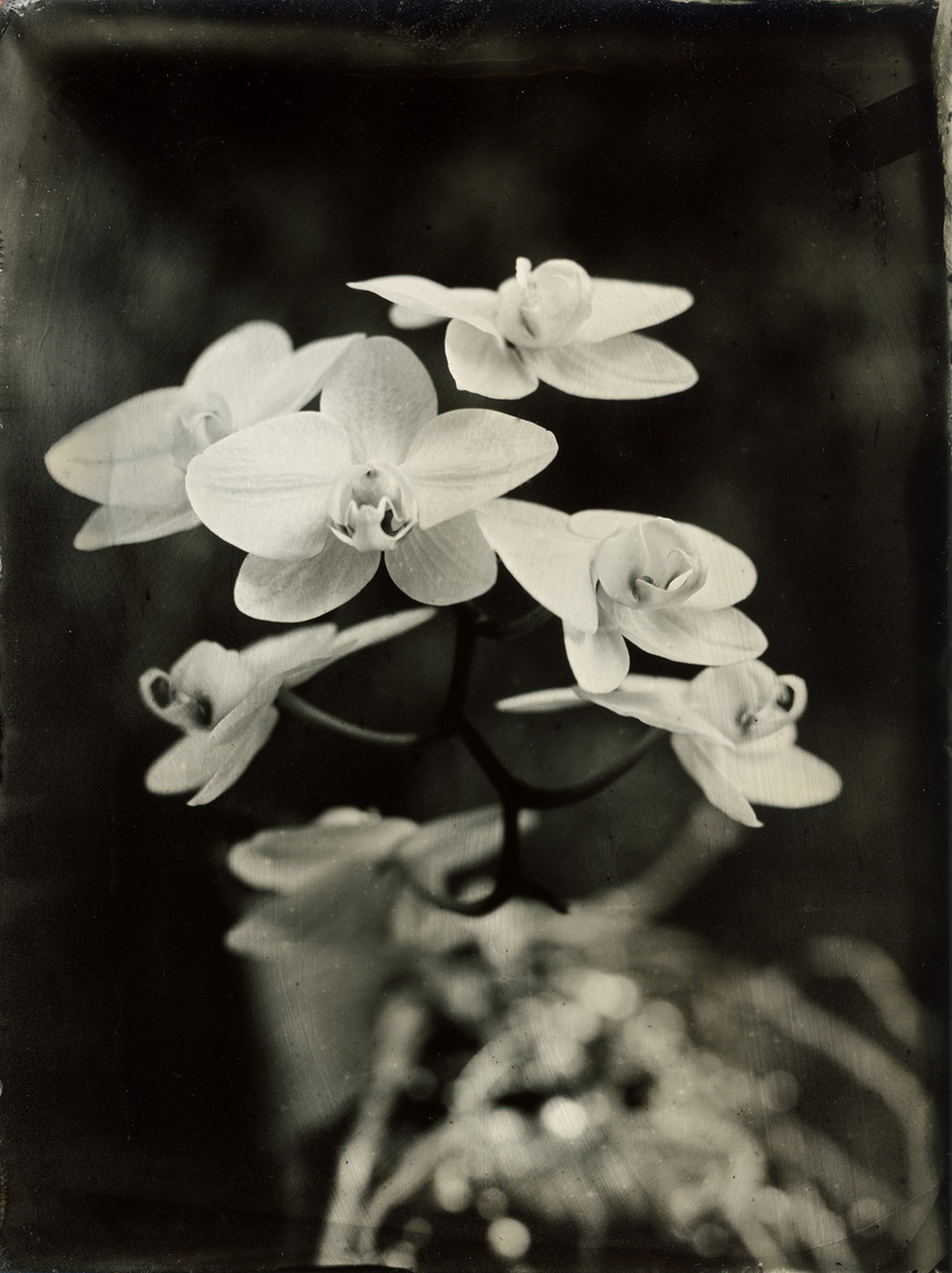 White Orchids Tintype ,  Ana Tornel