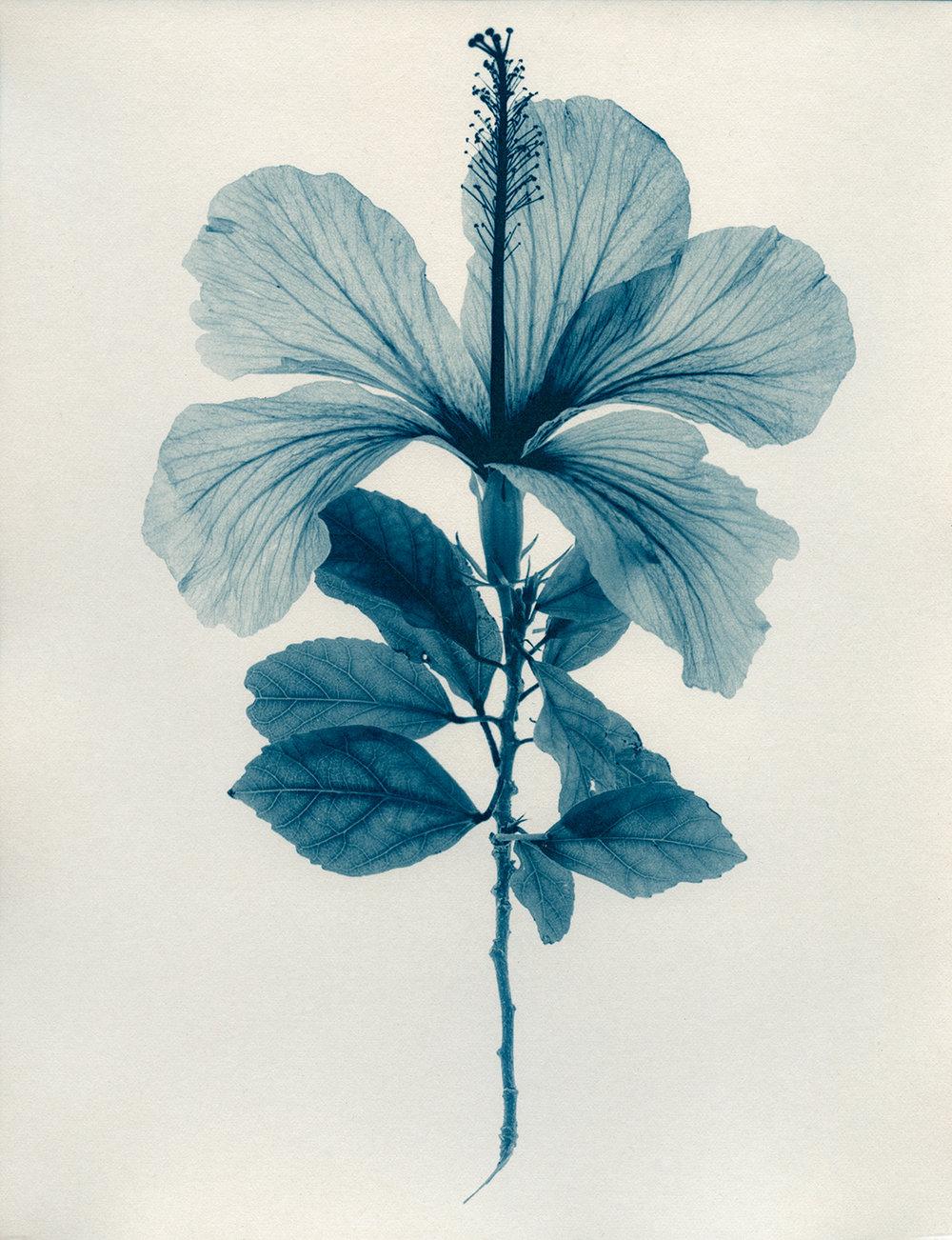 Hibiscus ,  Jacek Gonsalves