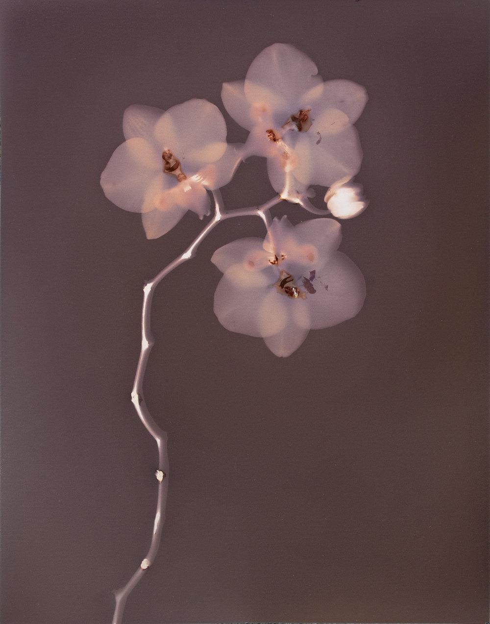 Phalaenopsis Orchid in Garnet