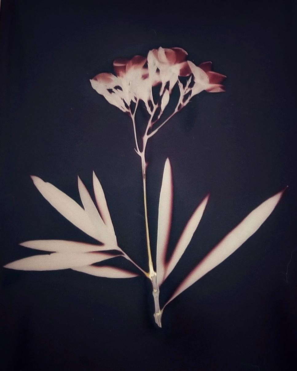 Oleander, 2018