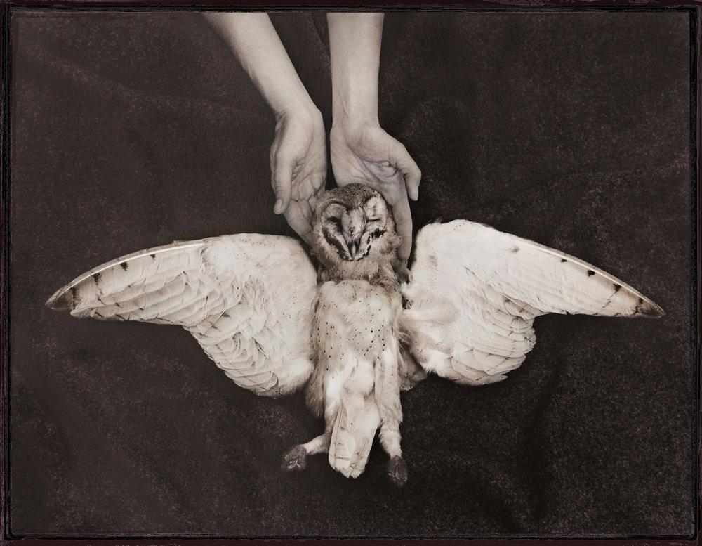 Barn Owl in My Hands ,  Charlotte Watts