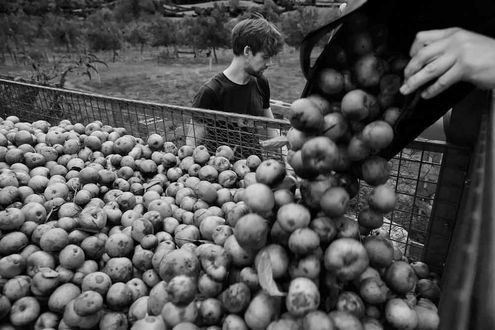 Apple Harvest in Chew Magna ,  Emli Bendixen