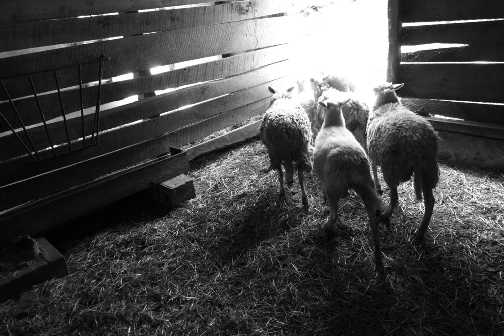Rob Amberg's Sheep, Marshall, NC ,  John Foster