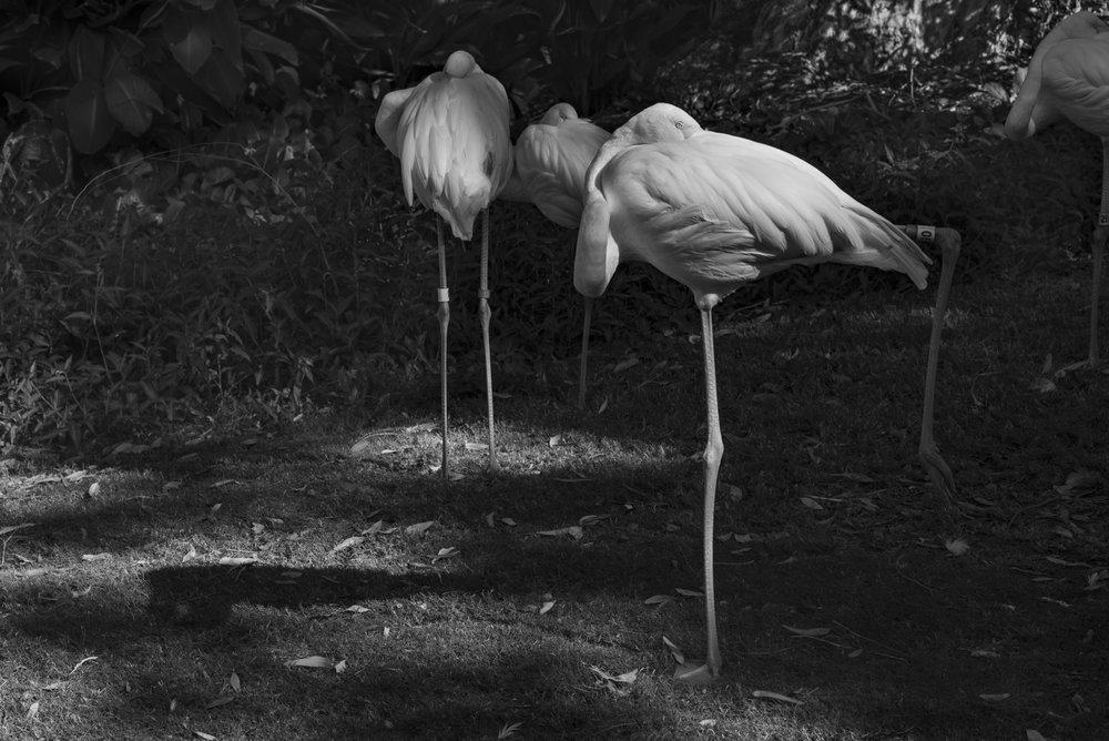 Flamingos ,  Stephen Podrasky