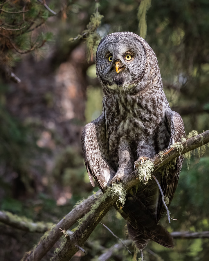 Perching Great Gray Owl