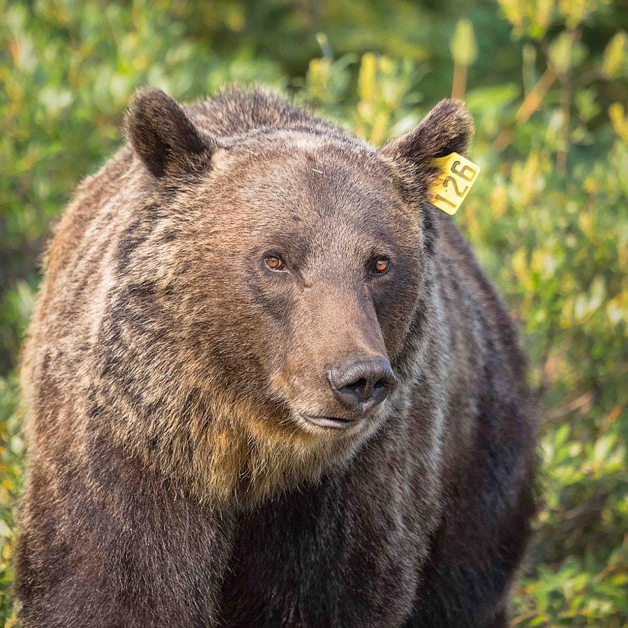 Bear 126