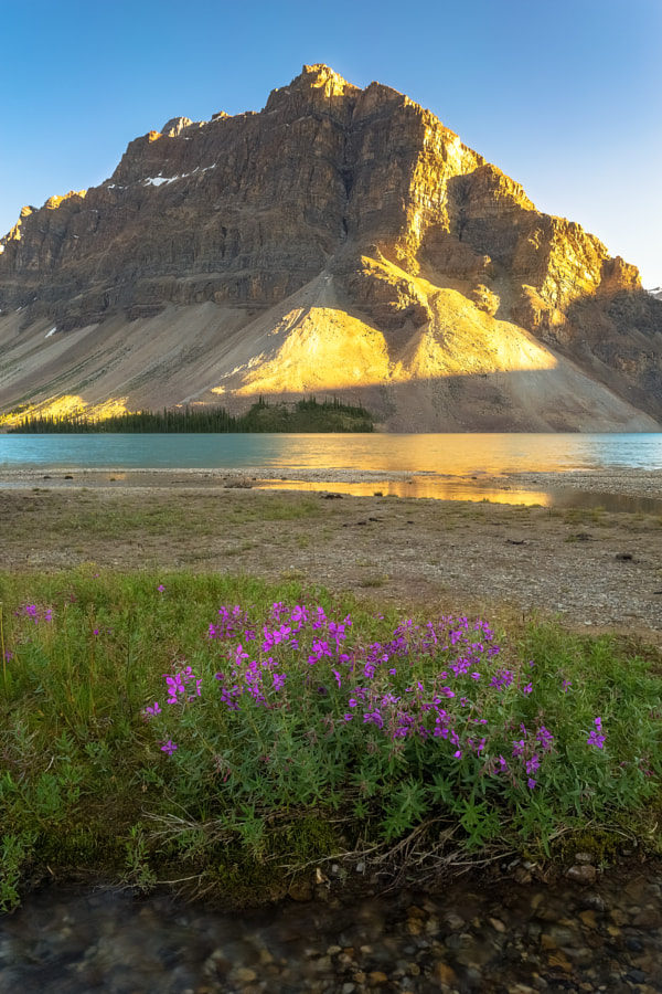 Fireweed at Bow Lake
