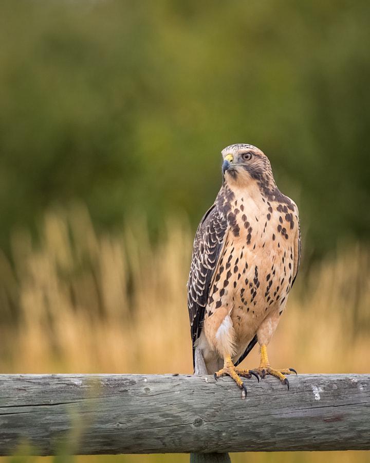 Juvenile Swainsons Hawk