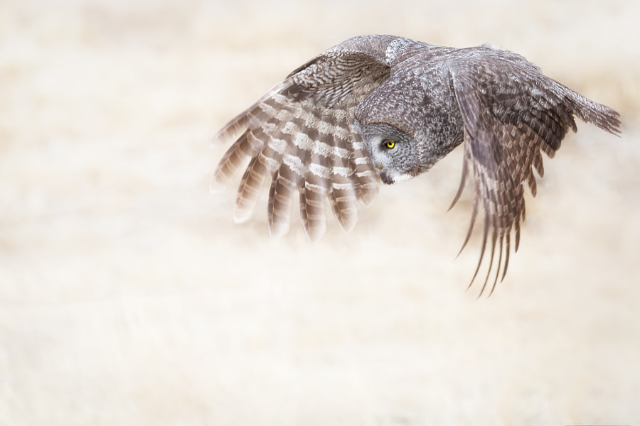 Great Gray Owl hunting in a meadow