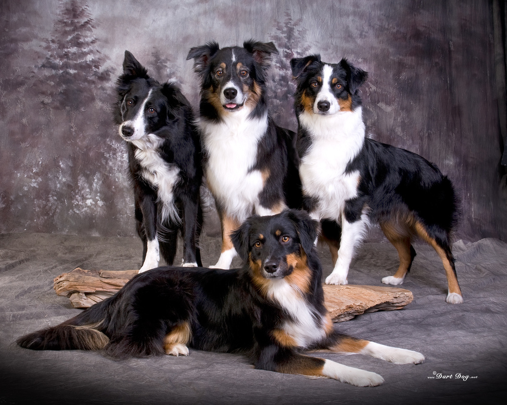 L to R:  Killy, Trek,  Cadence ; front:  Boca  Christmas 2013, Photo by Dart Dog at ASCA Nationals/Bakersfield Nov 2012