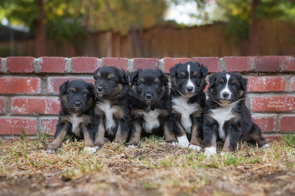 Boca x Buck litter - 4 week group photo taken Oct 25 by Marci Thomas of  SunRunner Photography