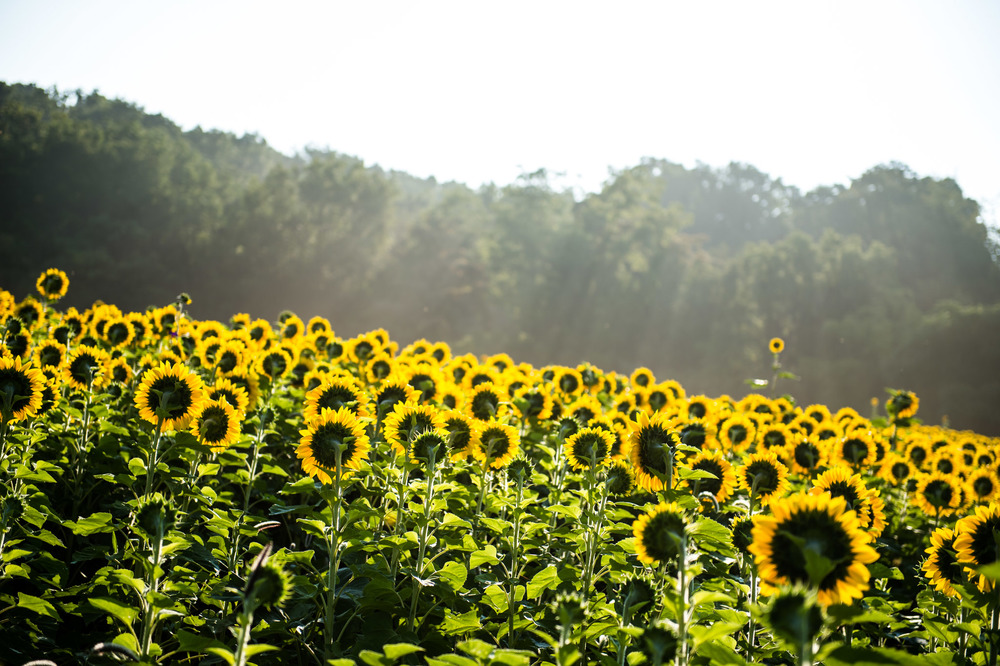 Sunflowers-1001.jpg