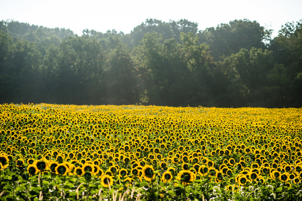 Sunflowers-1006.jpg