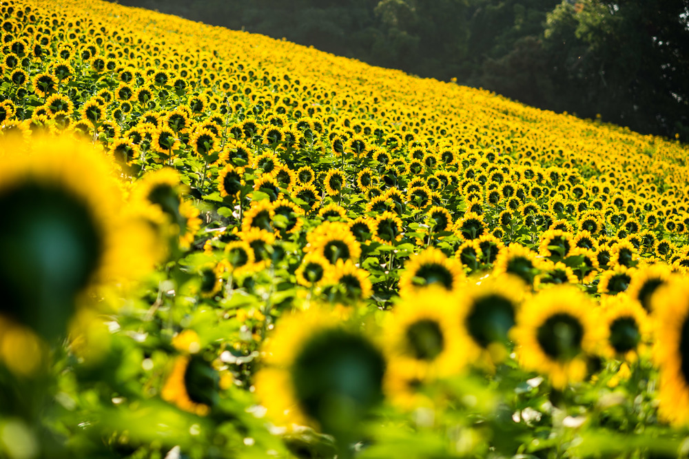 Sunflowers-1004.jpg