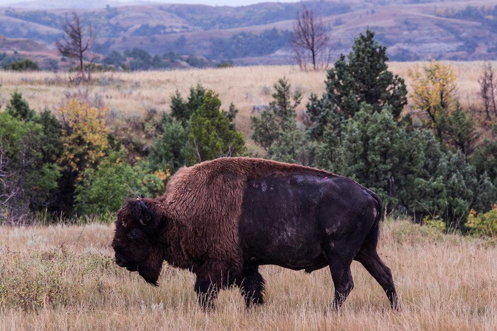 ginew-buffalo-prairie